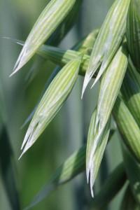 12252890 - close-up wild oats, shallow dof